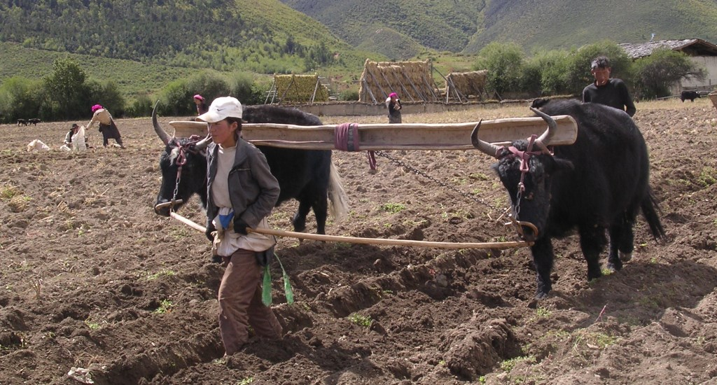 A Tibetan woman and her husband plowing a field with a pair of yaks