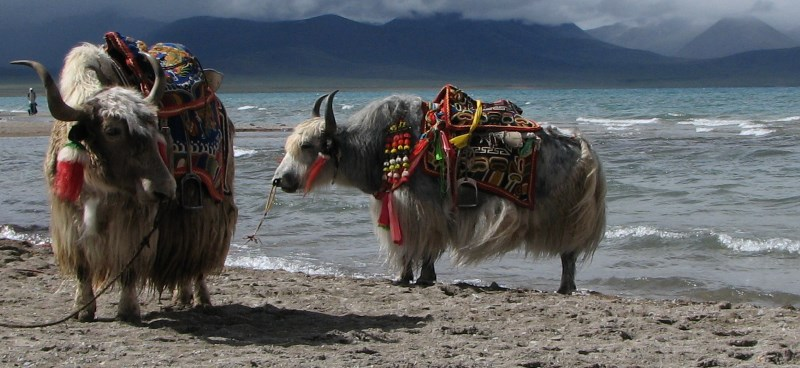 Yaks on the shore of Namtso lake in Tibet